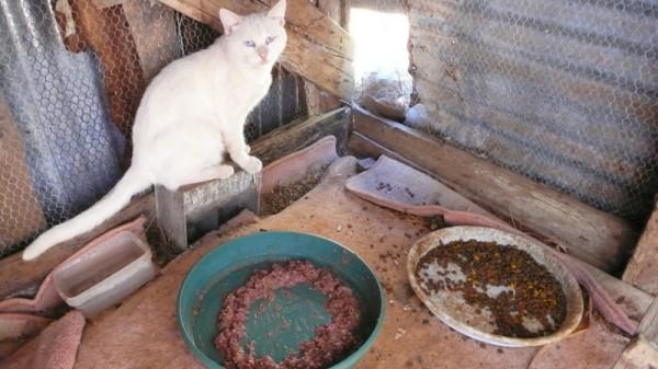 Dans le poulailler (avec Oscar, chat blanc très couillu et sourd comme un pot)