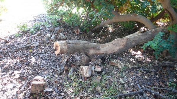 Une grosse branche de caroubier que Fifis me coupe de temps en temps : sublime bois de chauffage