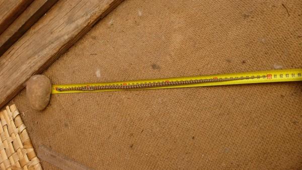 Couleuvre léopardine (elapha situla) de bonne taille (50cm)