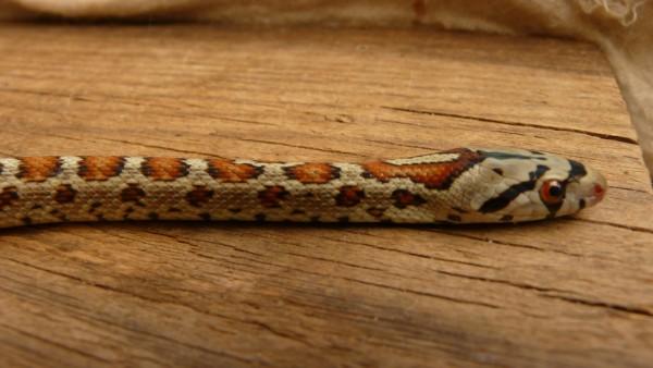 Elaphe situla (couleuvre léopardine) (4)