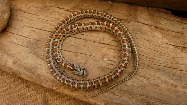 Elaphe situla (couleuvre léopardine)