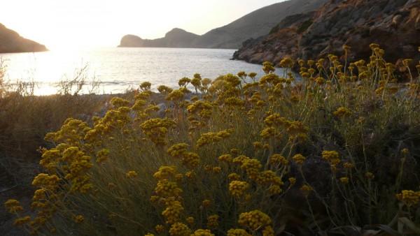 les hélichryses saluent le soleil d'or