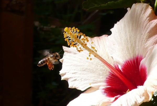 Une abeille très contente d'avoir trouvé UNE fleur (pour fêter ma convalescence, je me suis offert 2 petits hibiscus)