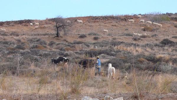 Marinos, 2 de ses vaches, son cheval et son chien, montant sur la colline desséchée, alors que tout devrait être vert pomme fin novembre