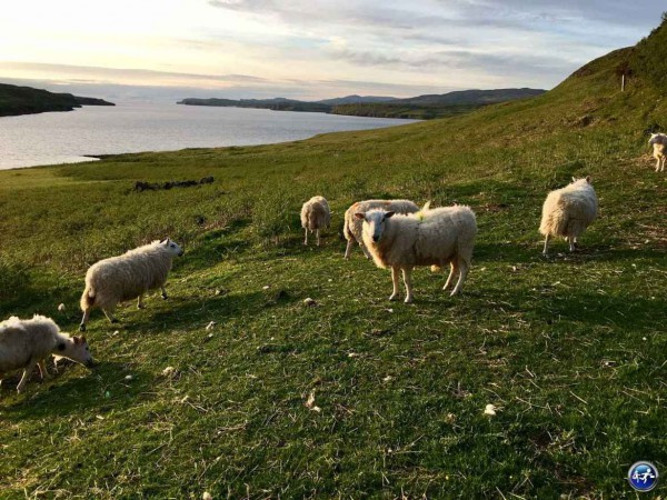 Visiter-lile-de-Skye-mouton-au-coucher-du-soleil-péninsule-ile-de-Skye-highland-Ecosse-blog-voyage-suisse-cosy-on-holidays-again