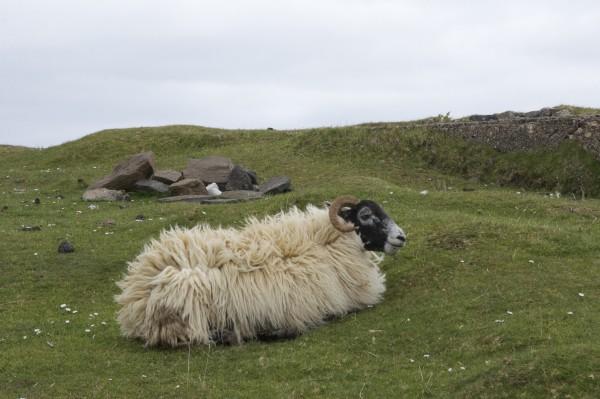 road-trip-ecosse-skye-island-mouton