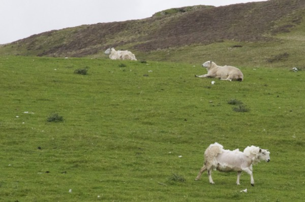 road-trip-ecosse-skye-island-mouton-sheep-1024x680