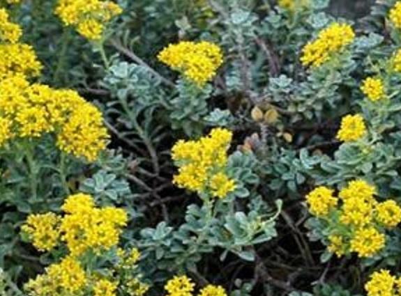 détail d'Alyssum tenium