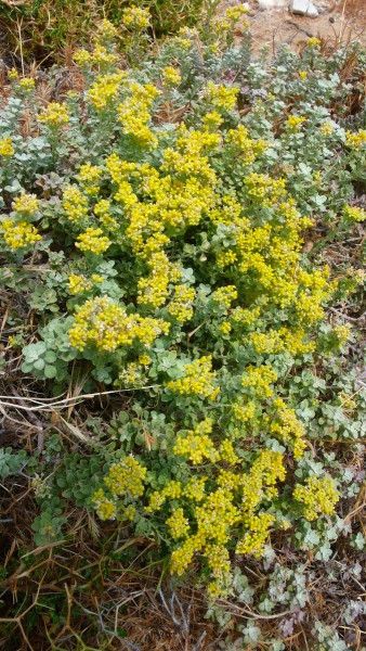 Quelle est cette plante ? Tinos, 26 mai 2018, env.50m altitude, bord de route.