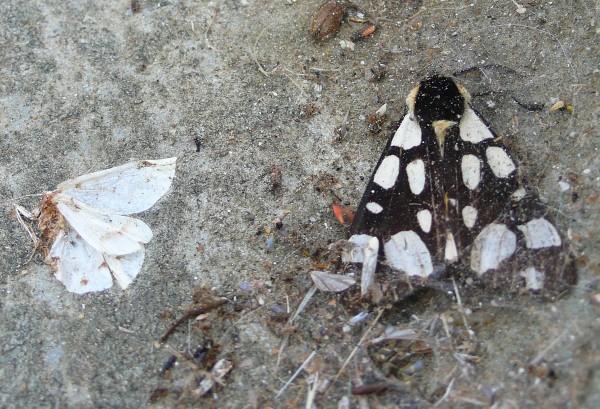 L'Ecaille fermière (Epicallia villica)