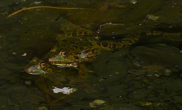 Crapaud vert (Bufotes viridis)