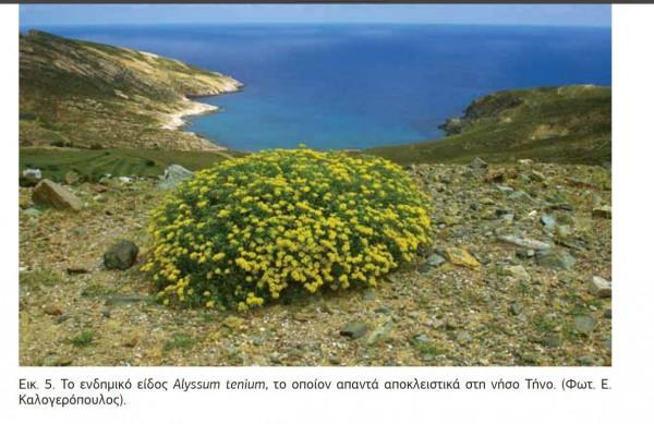 alyssum tenium