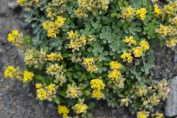 Alyssum alpestre, ou passerage (et qui n'est pas l'alyssum montanum)