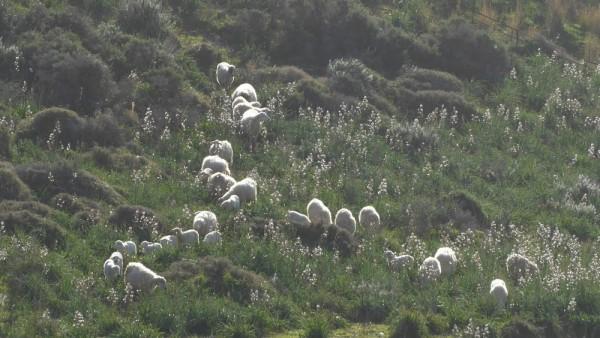 Moutons et Asphodèles...