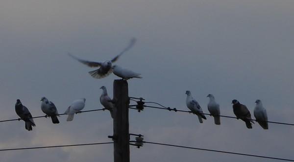 Beaux pigeons